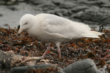 Glaucous Gull 2AS