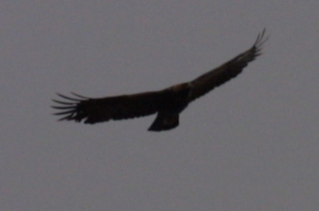 Golden Eagle facing