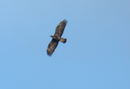 Golden Eagle flying