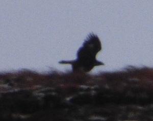 Golden Eagle hunts over                                       ridge