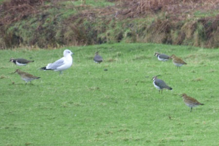 Golden Plover,                                               Lapwing, Common Gull