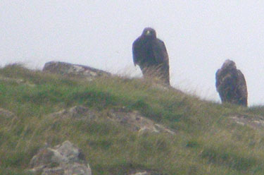 Golden Eagle pair
