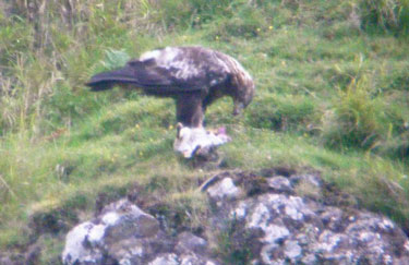 Golden Eagle with Rabbit                                       lunch
