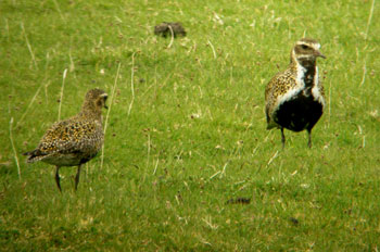 Golden Plover male and female