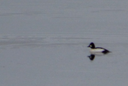 Goldeneye distant