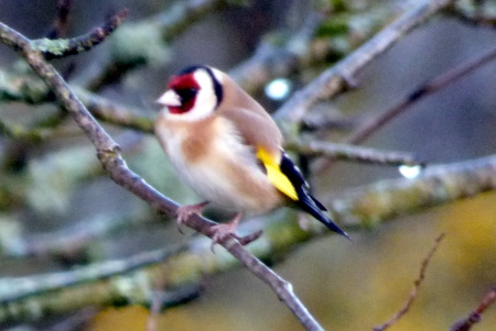 Goldfinch in the