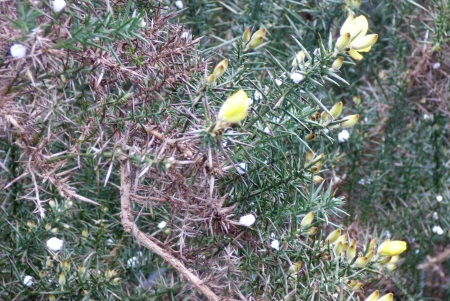 Gorse and hail stones