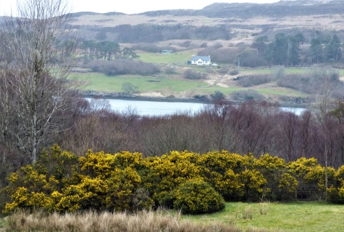 Gorse and view