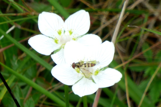Grass of Parnassus with insect