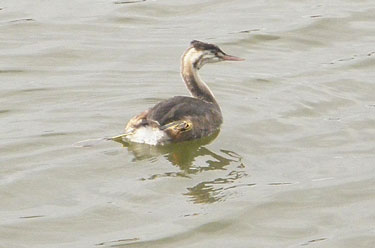 Great-crested Grebe Oct13