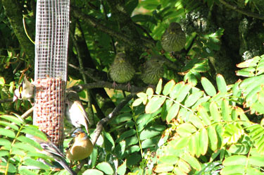 Baby Greenfinches by the feeder
