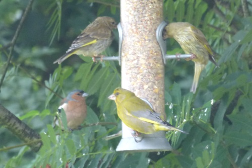 Greenfinches with Chaffinch