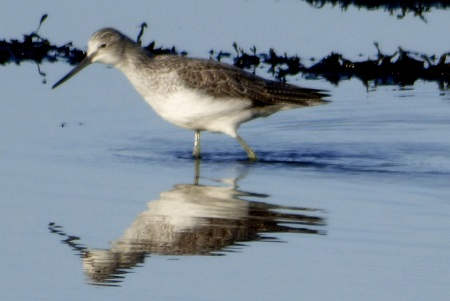 Greenshank and                                               reflection