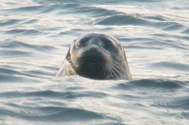 Grey Seal facing
