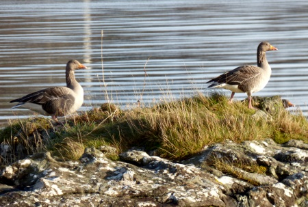 Greylag Geese on Loch                                               na Keal