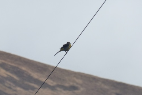 Grey Wagtail on wire