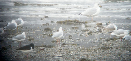 Common, Herring and                                       Black-headed Gulls
