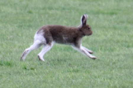 Hare running MM