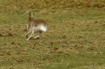 Hare on                             the run