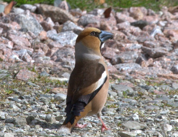 Hawfinch for Arthur