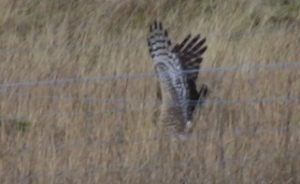 Hen Harrier hunting                                               3