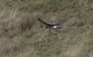 Hen Harrier hunting                                               1
