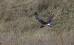 Hen Harrier hunting                                               2