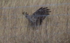 Hen Harrier                                               hunting 4