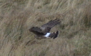 Hen Harrier hunting                                               6