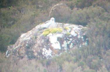 Male Hen Harrier on a rock