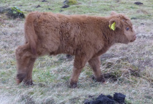 Highland calf 1st for year