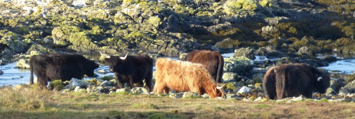 Highland Cattle at Cailaich