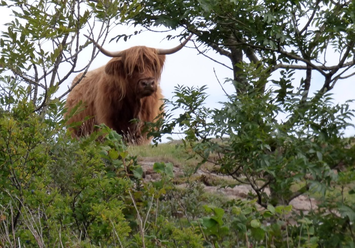 Highland Cow in bushes