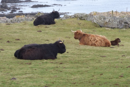 Highland Cows and