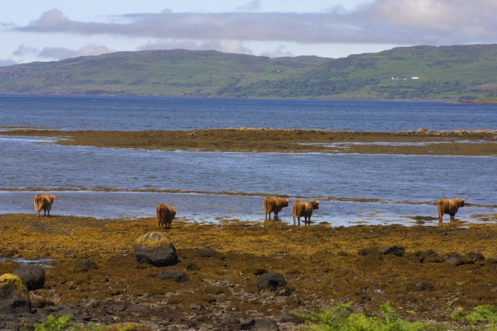 Highland Cattle at Laggan Bay