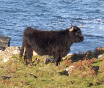Highland Cow black
