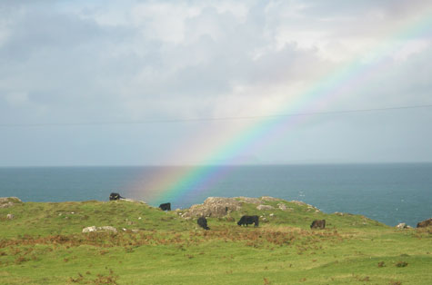 Highland Cattle and rainbow