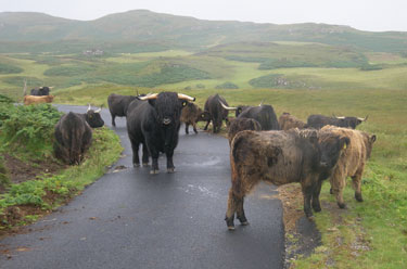 Highland Cattle on the road