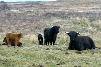 Highland Cows and Calves