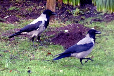 Hooded Crows in the