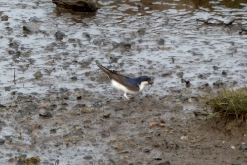 House Martin collecting mud