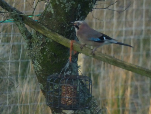Jay above nut