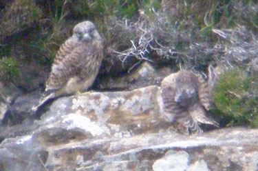 Young Kestrel watches sibling preening