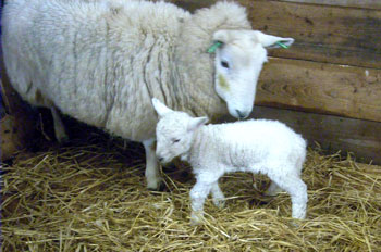 Lamb with wonky legs