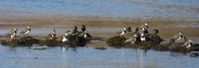 Lapwing &                                       Starling