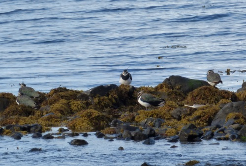 Lapwings resting