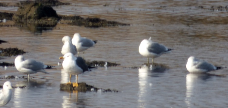 Lesser BB Gull with Common Gulls