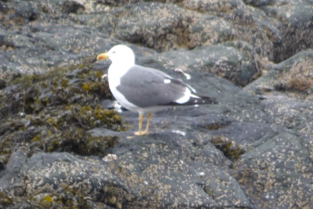 Lesser Black Backed