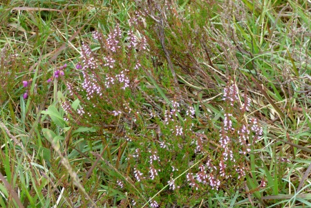 Ling or Scottish                                               Heather