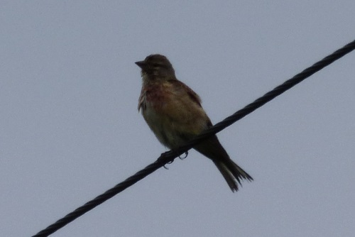 Linnet on wire